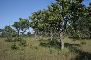A Picturesque view of Minnesota Oak Savanna at Cedar Creek Ecosystem Science Reserve