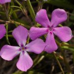 Phlox cuspidata with 4 petals growing wild in Texas