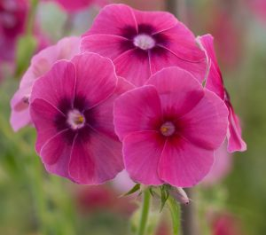 Six-petaled Phlox drummondii